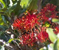 Firewheel Tree 5 Seeds- Adaptable to a range of climates